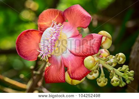 Cannonball Tree Flower (couroupita Guiata)