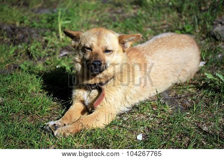 Red Mongrel Dog On The Grass