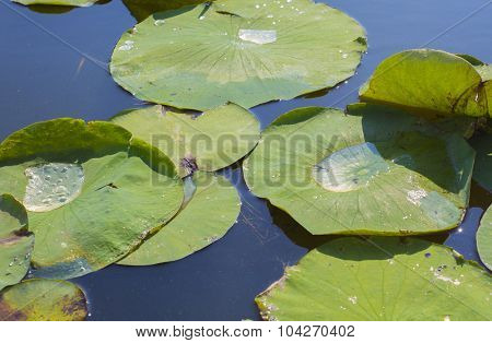 Detail of lillypads reflected on water, Point Pelee national park, Ontario, Canada