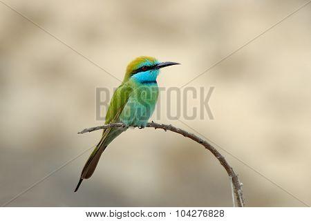 Perching Little Green Bee-eater In Sharjah Emirate Of Uae