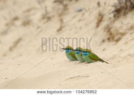 Three Little Green Bee-eaters On The Sand In Sharjah Emirate Of Uae