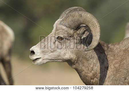 Close Up Profile Of Male Bighorn Sheep.