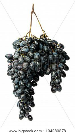 Hangs Down A Bunch Of Dark Grapes
