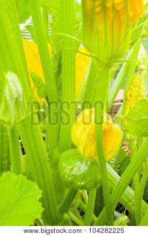Zucchini In Flowers