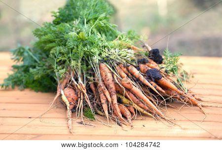 Large bundle of ripe carrots closeup
