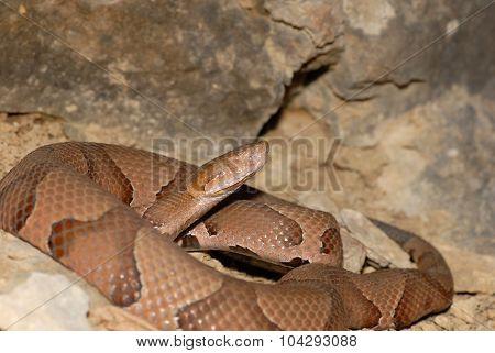 Osage Copperhead