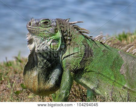 Green Iguana in Profile Displaying Neck Dewlap