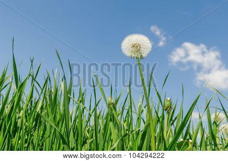 white dandelion in green grass