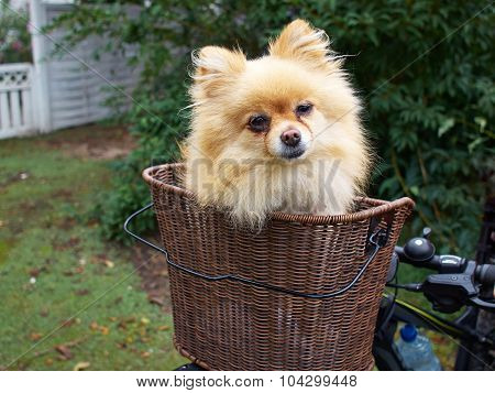 Cute Small Dog In Basket On Bicycle