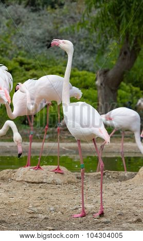 Greater Flamingos in a park