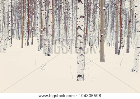 Birch And Aspen In Winter Snow