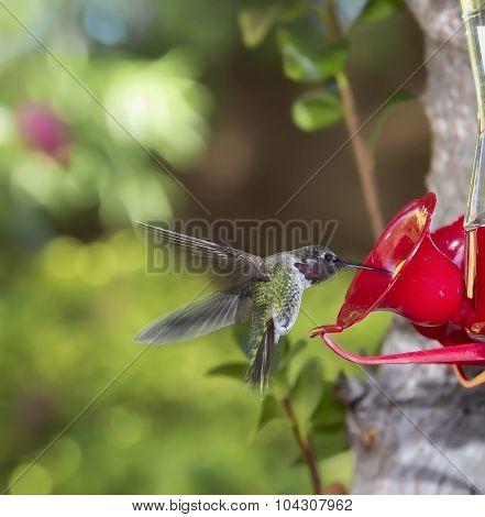 Hummingbird Flying Towards Feeder