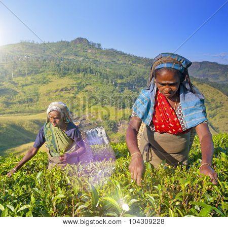 Sri Lankan Women Picking Tea Leaves Harvesting Concept