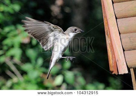 Flying Male Pied Flycatcher Near The Nestling Box