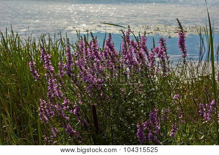 Thickets Loosestrife By The River.