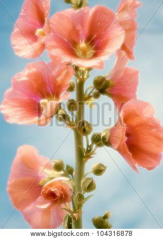 Flower stem roses or high Malva