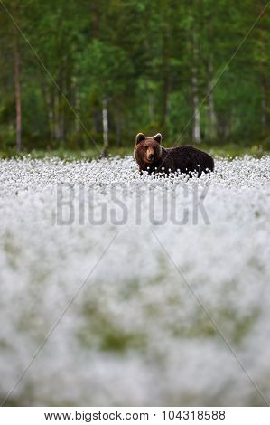 Brown Bear And Cotton Grass