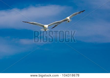 two seagulls flying together after one leader