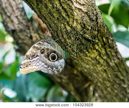 Butterfly With Eye Spot