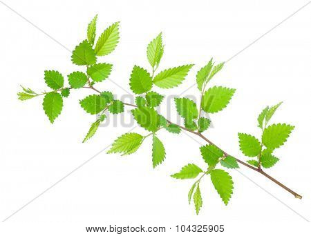 Branch of hornbeam with green toothed leaves