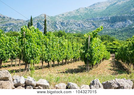 Vineyard With Vines In Rows And Tall Mountains In The Background