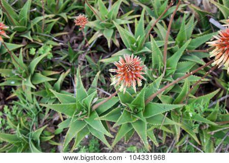 Aloe Arborescens Or Aloe Flowers