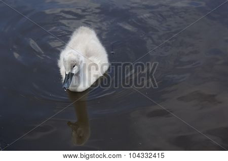 Swan Cygnet Swimming