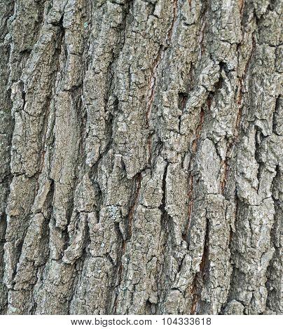 Bark Poplar