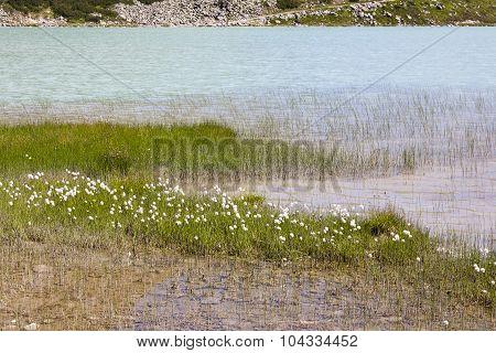 Cotton Grass By Lake