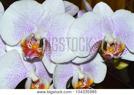 Phalaenopsis Good Tern x Risson