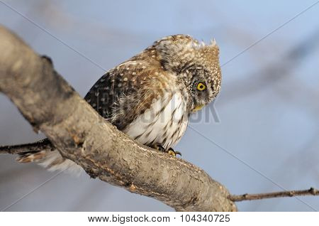 Looking Down Pygmy Owl