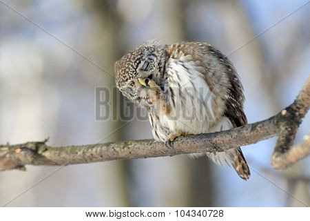 Pygmy Owl While Cleaning Beak