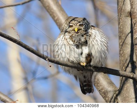 Smiling Pygmy Owl