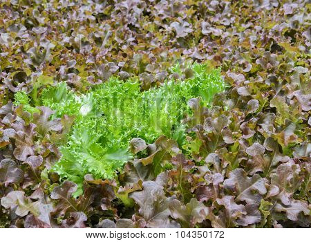 Hydroponic Leaf Lettuce Plantation