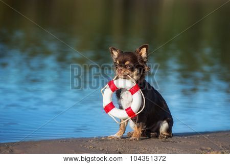 chihuahua dog holding a life buoy