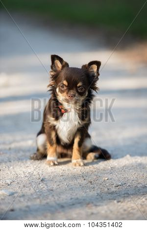 adorable brown chihuahua dog