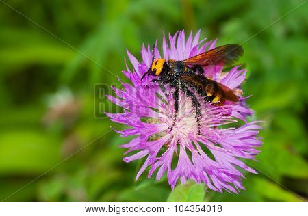 Big wasp-like insect gathers nectar from cornflowers