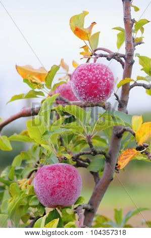 Frost On Red Autumn Apples