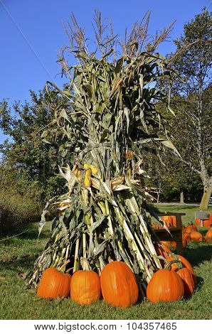Pumpkins surrounded shocks of corn