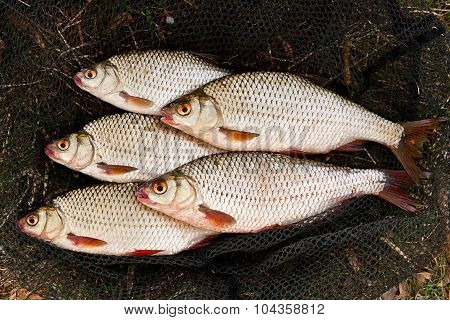 Several Of Roach Fish On On Fishing Net.
