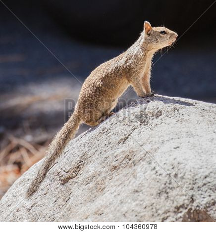 California Ground Squirrel On A Rock