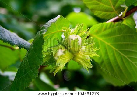 Green Hazelnuts Are Growing On The Tree.