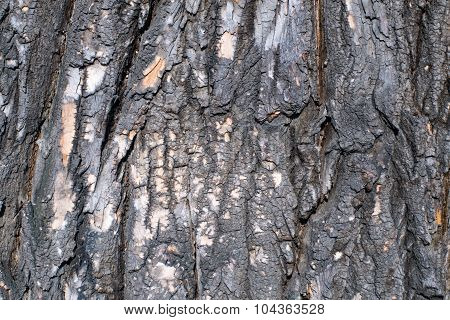 The bark of the poplar.