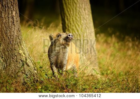 Wild Boar Baby Sniffing Between Tree Trunks