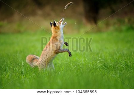 Red Fox Throwing Haunted Mouse Upon Green Grass
