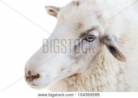 Close up of a sheep on white background