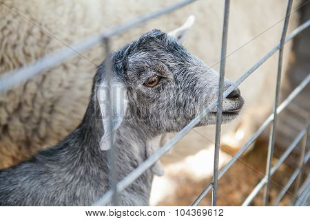 Portrait of young grey funny goat at the farm