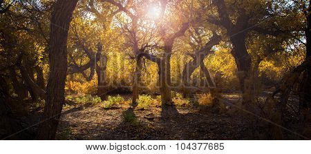 Poplar Trees With Yellow Leaves In Autumn Season