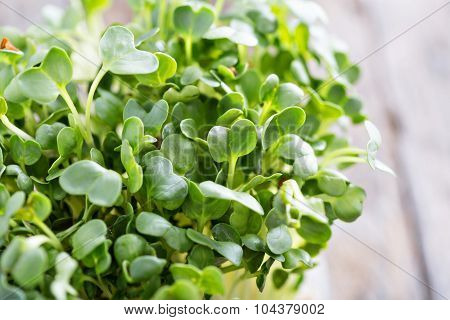 Radishes sprouts fresh and green