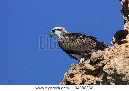 Osprey At Rock